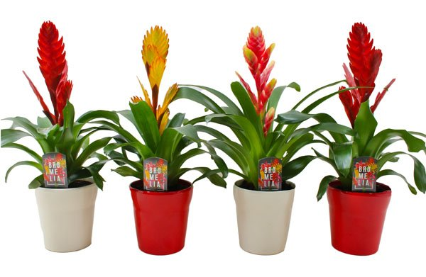 Vriesea mix in Red and White keramiek