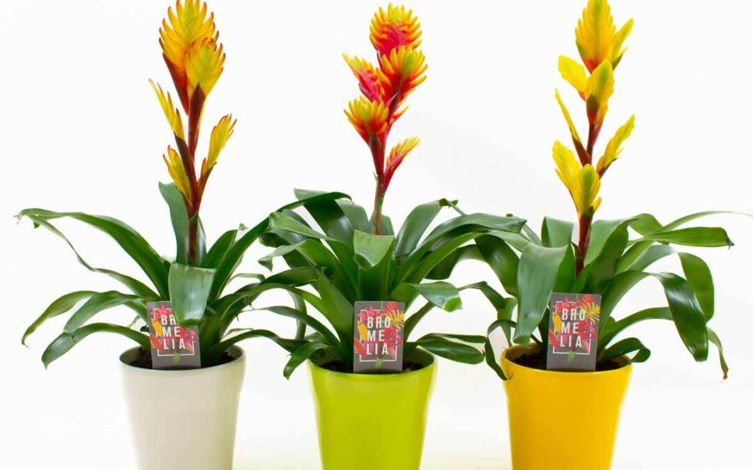 Vriesea mix Eastern in 3 kleuren keramiek